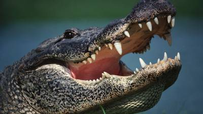 9-foot alligator found on doorstep at Tampa home
