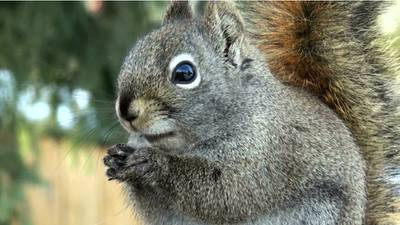 Squirrel in Colorado tests positive for bubonic plague